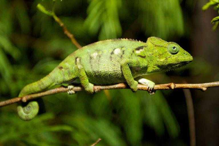 Capturando camaleones de Florida, un pequeño reptil invasor a la vez