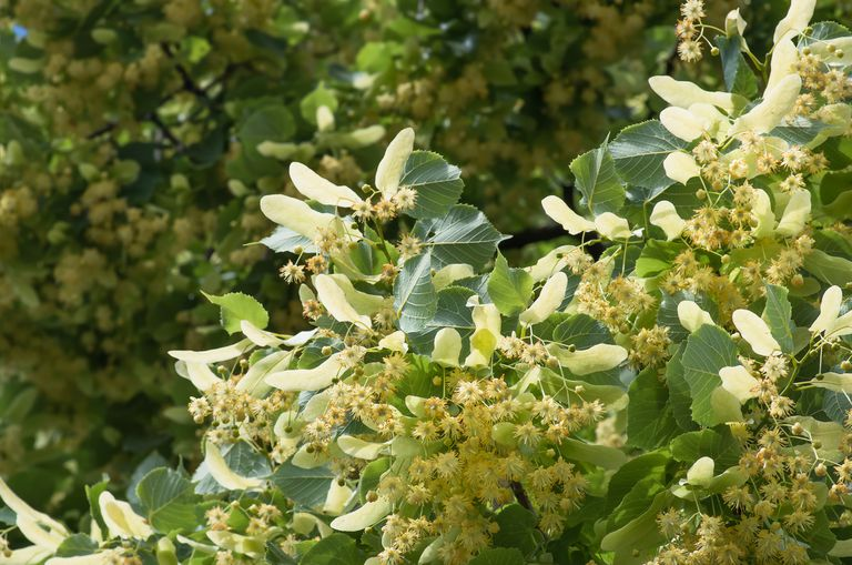 American Basswood tree with yellow spiky flowers and dark green leaves.