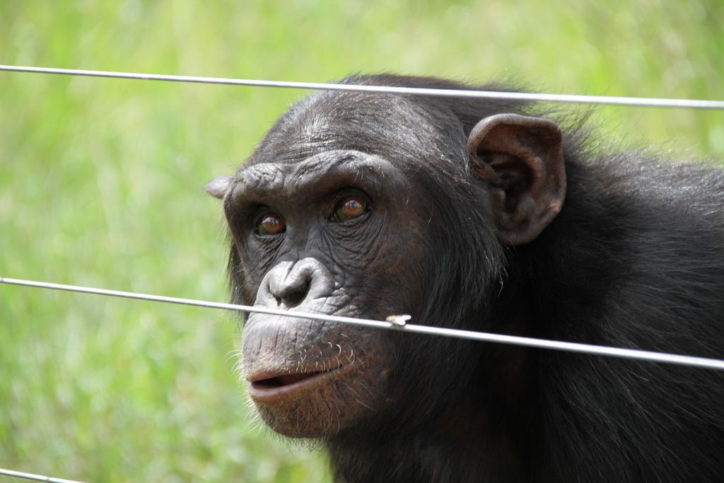 chimpanzee behind an electric fence
