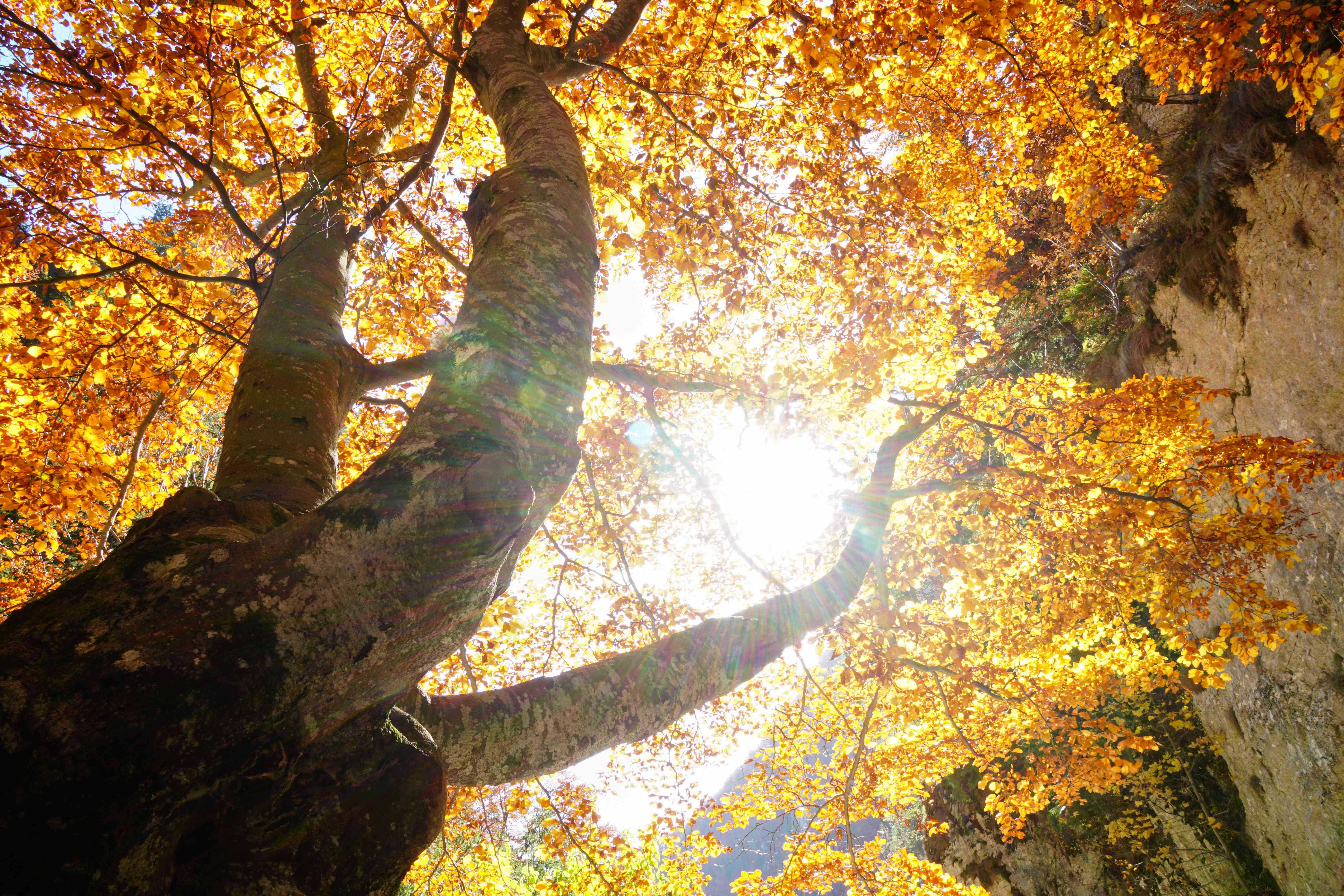 looking up shot into autumnal tree with orange leaves and sun filtering through branches