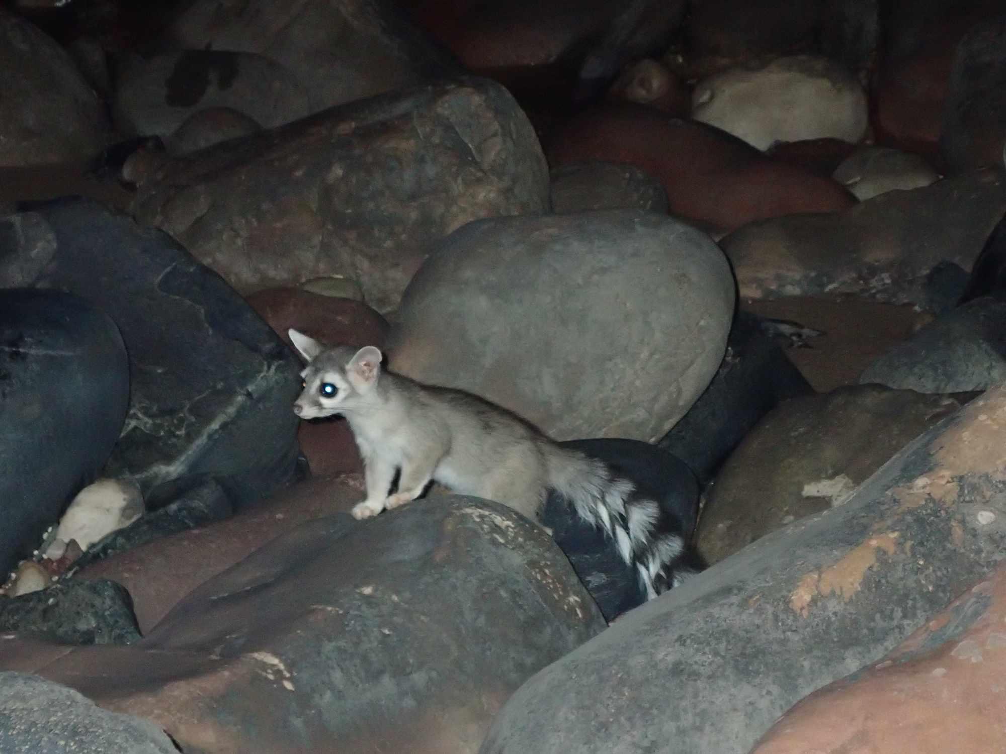 The elusive ringtail cat is Arizona's state animal