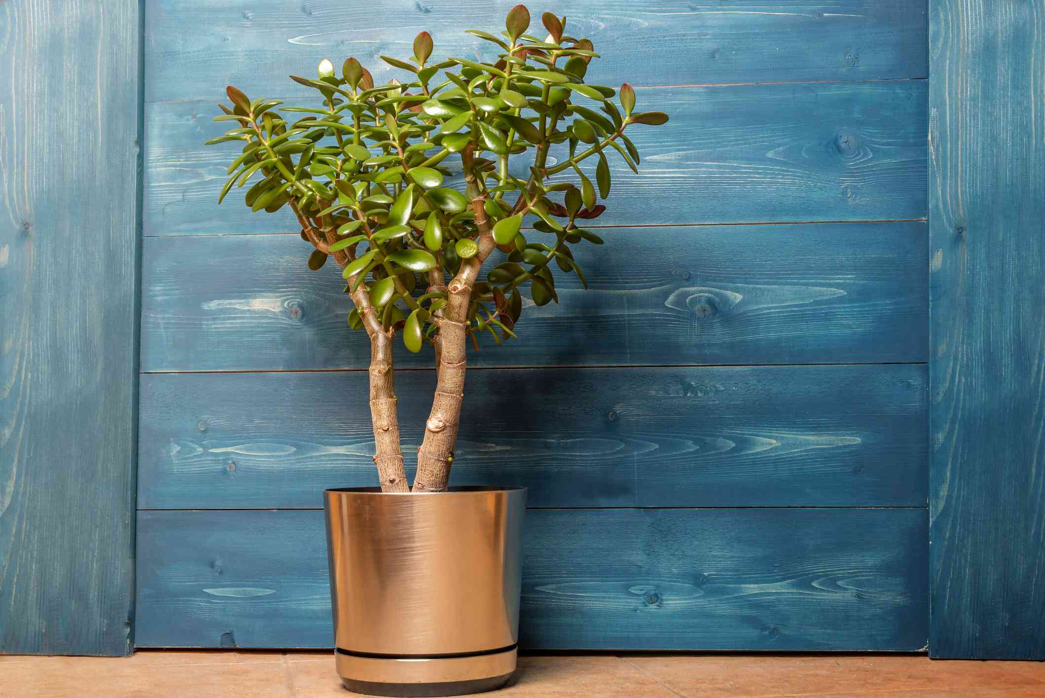 Jade Plant Succulent houseplant Crassula in a pot on a wooden blue background