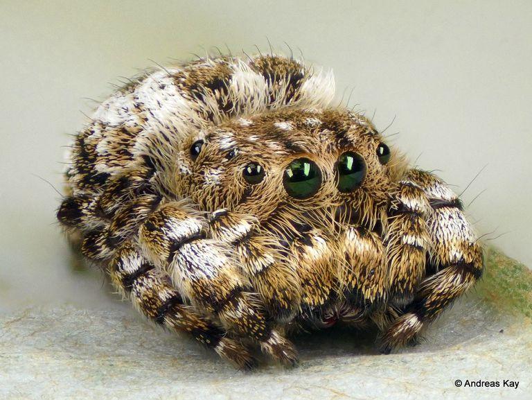 Foto: La araña saltarina es tan linda como un gatito