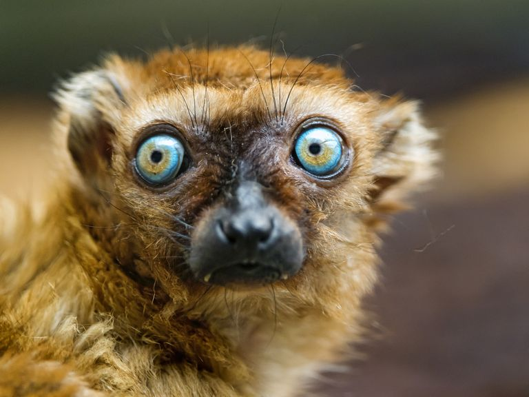 Sclater's lemur with wide eyes