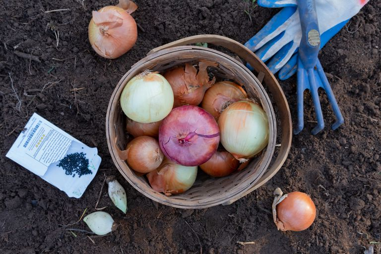 wooden basket with onions in dirt with gloves