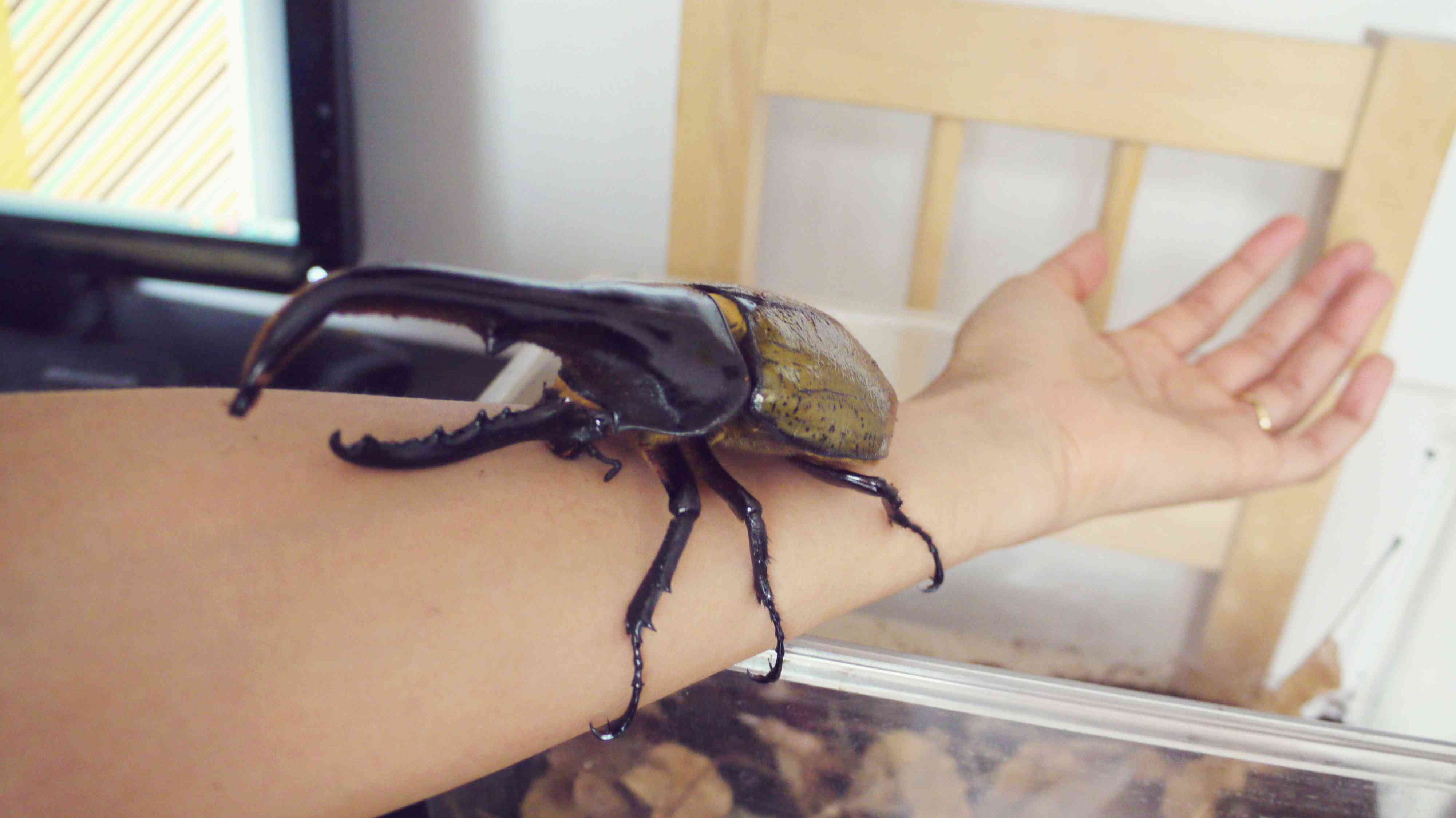 a brown and black Hercules beetle resting on a person's arm