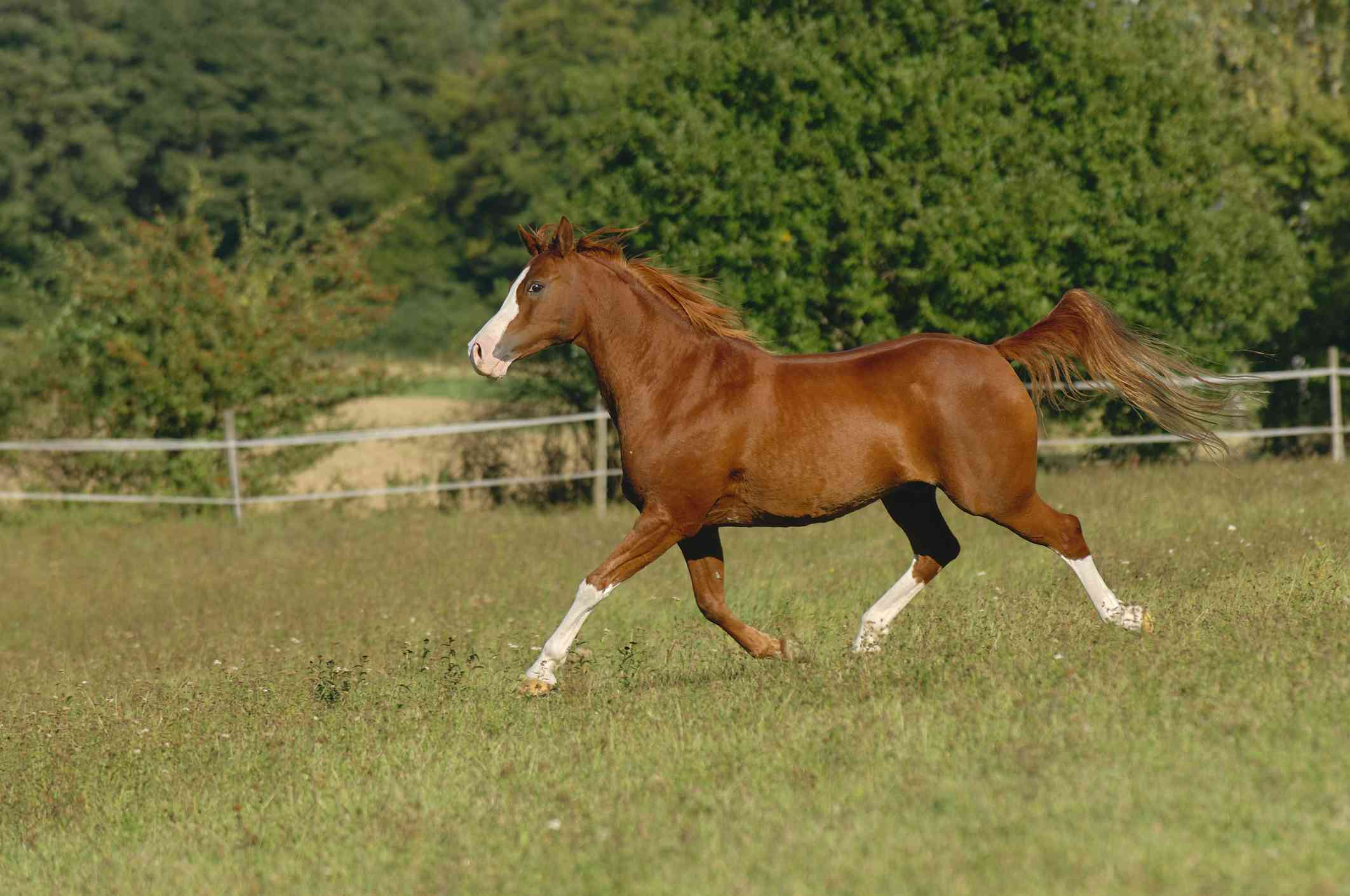 majestic tan arabian horse with white markings trots downhill in a field