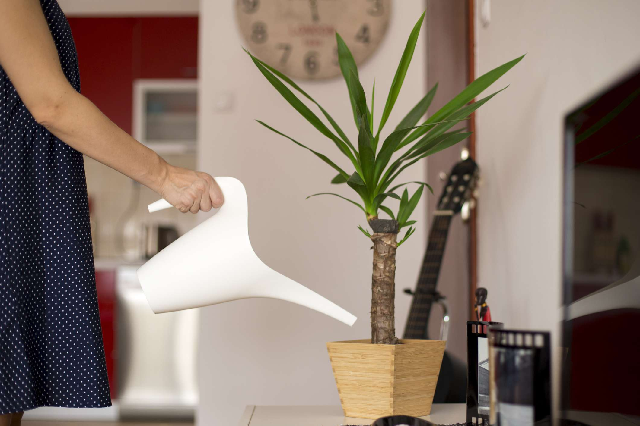 women waters indoor yucca (Yucca elephantipes) plant with white watering can