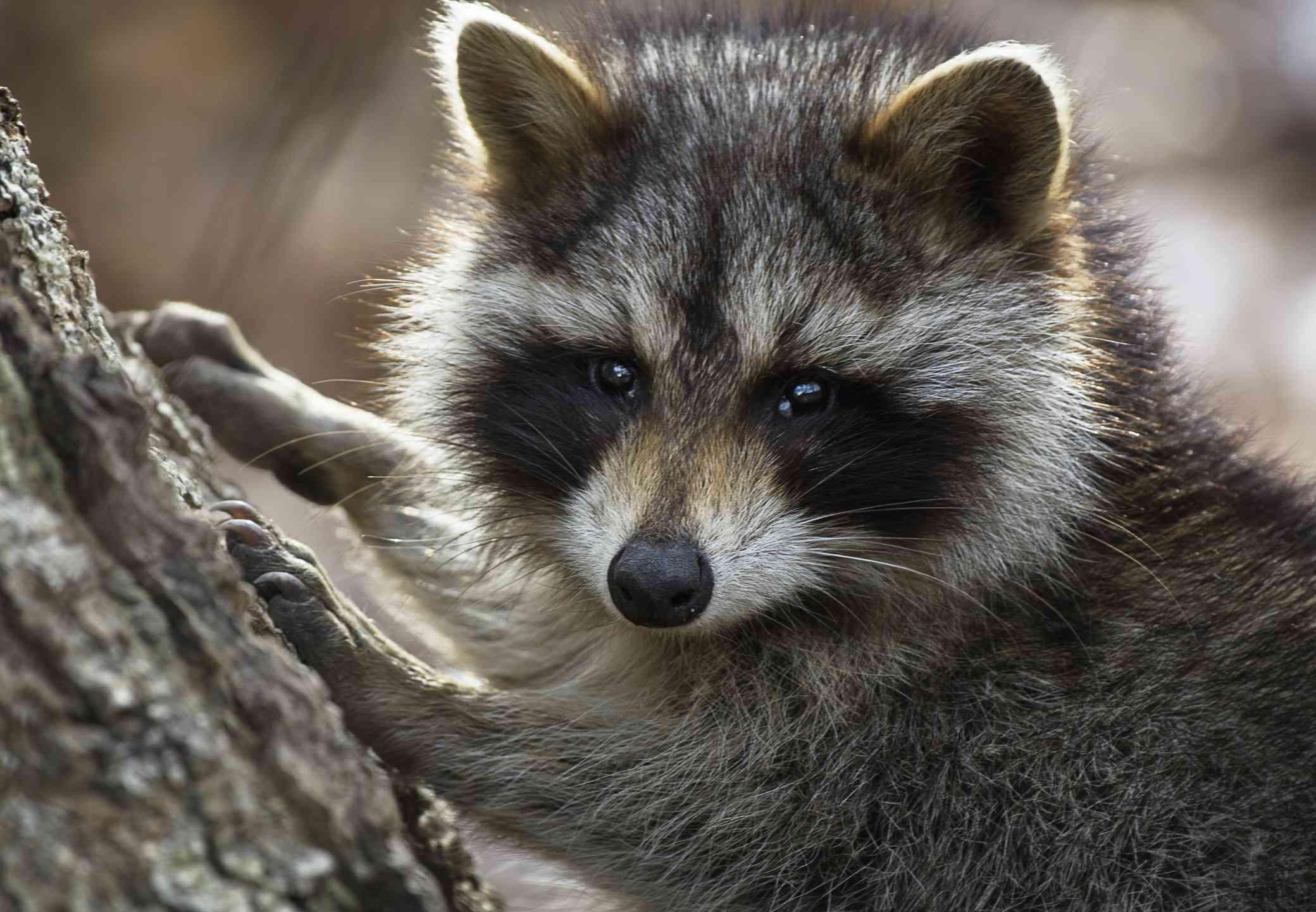 Raccoon at Caumsett State Park, Long Island