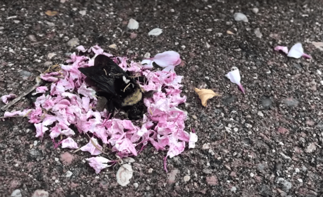 Viral Video Shows Ants Covering a Dead Bee in Flowers. Is This an Interspecies Funeral?