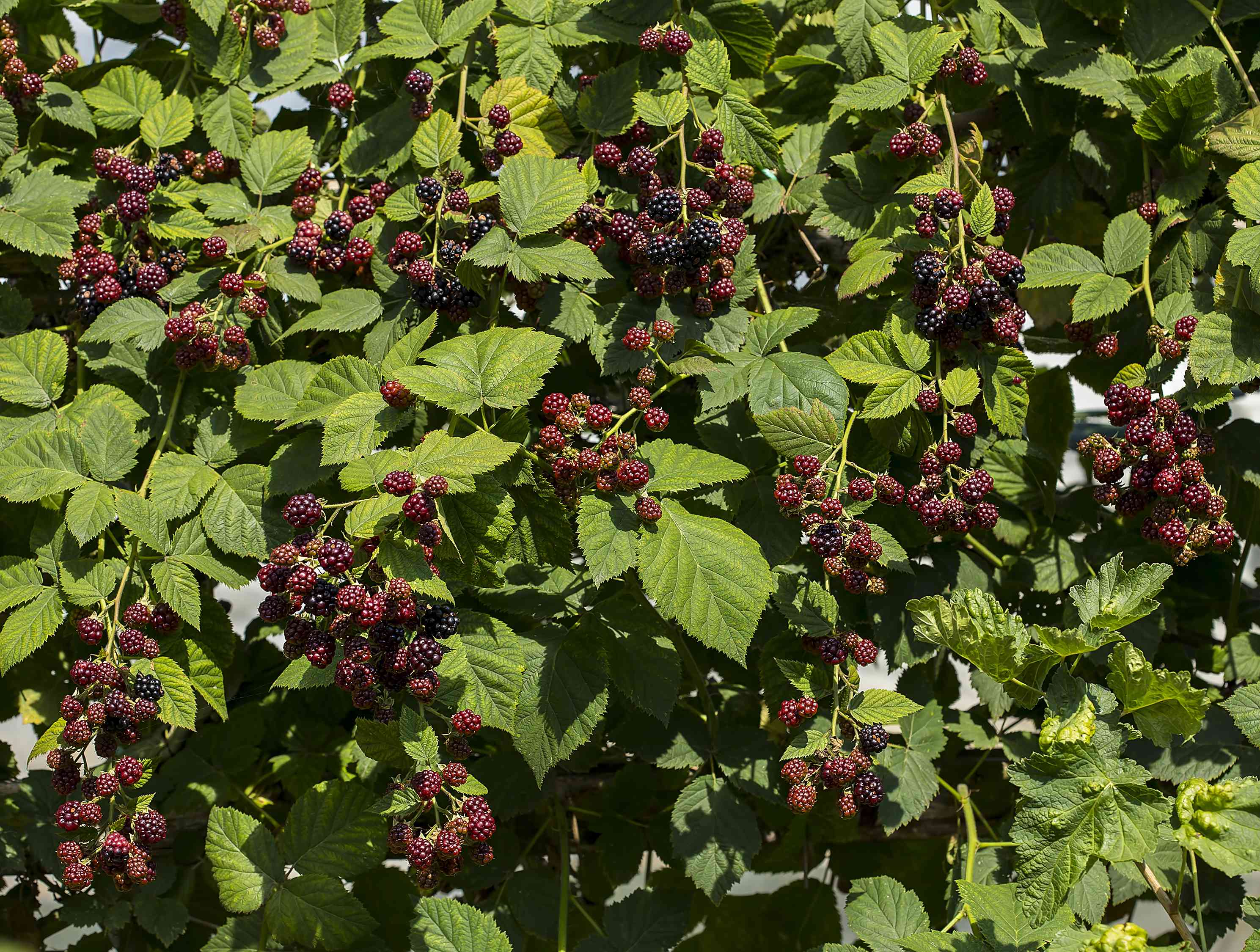 large blackberry bush filled with green leaves and blackberries