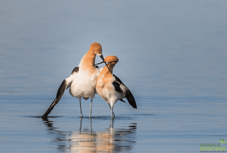 Two avocets standing in shallow water