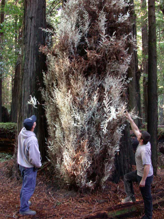 Two men look at the growth of an albino redwood