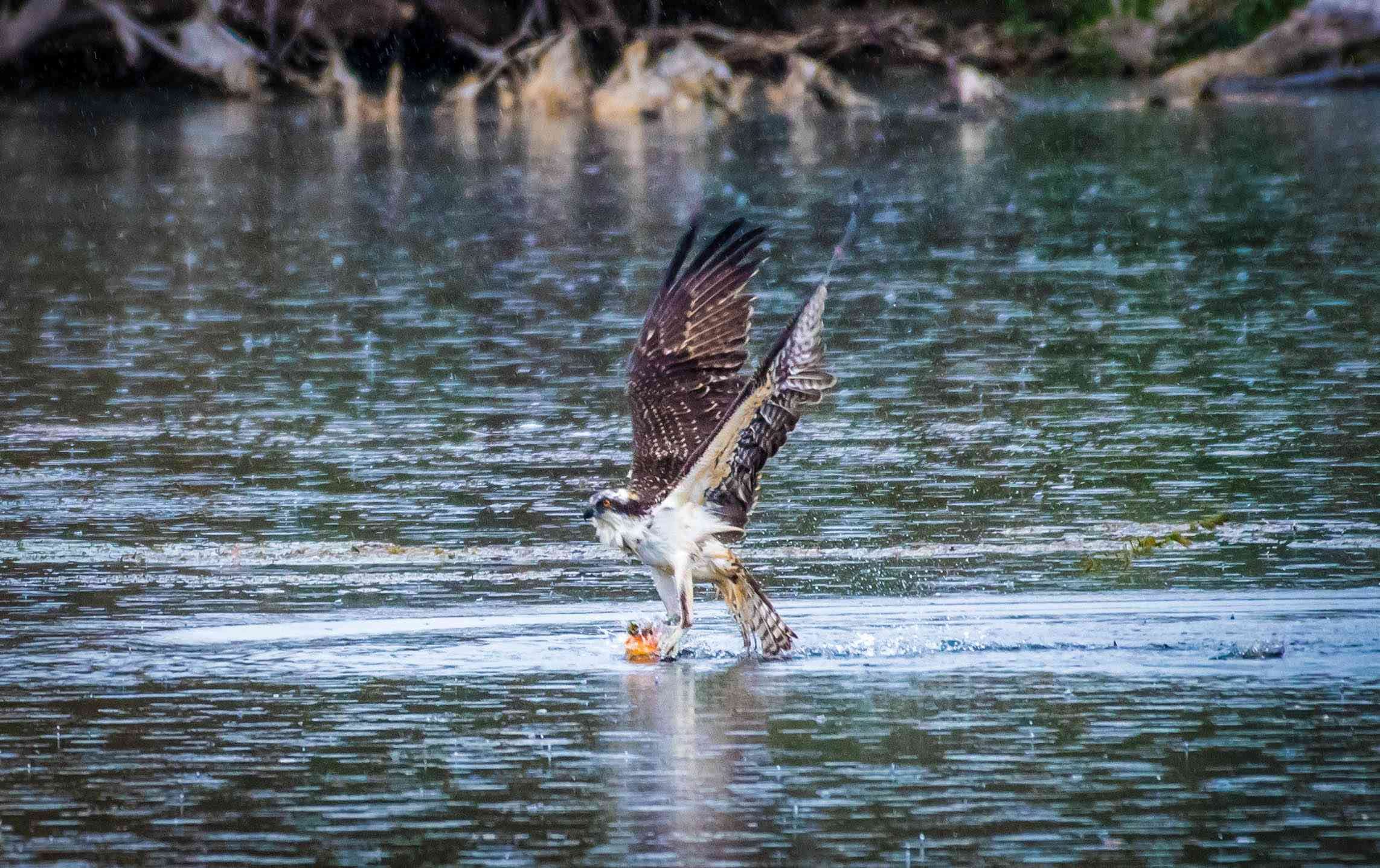 osprey taking off after landing in water holding a fish