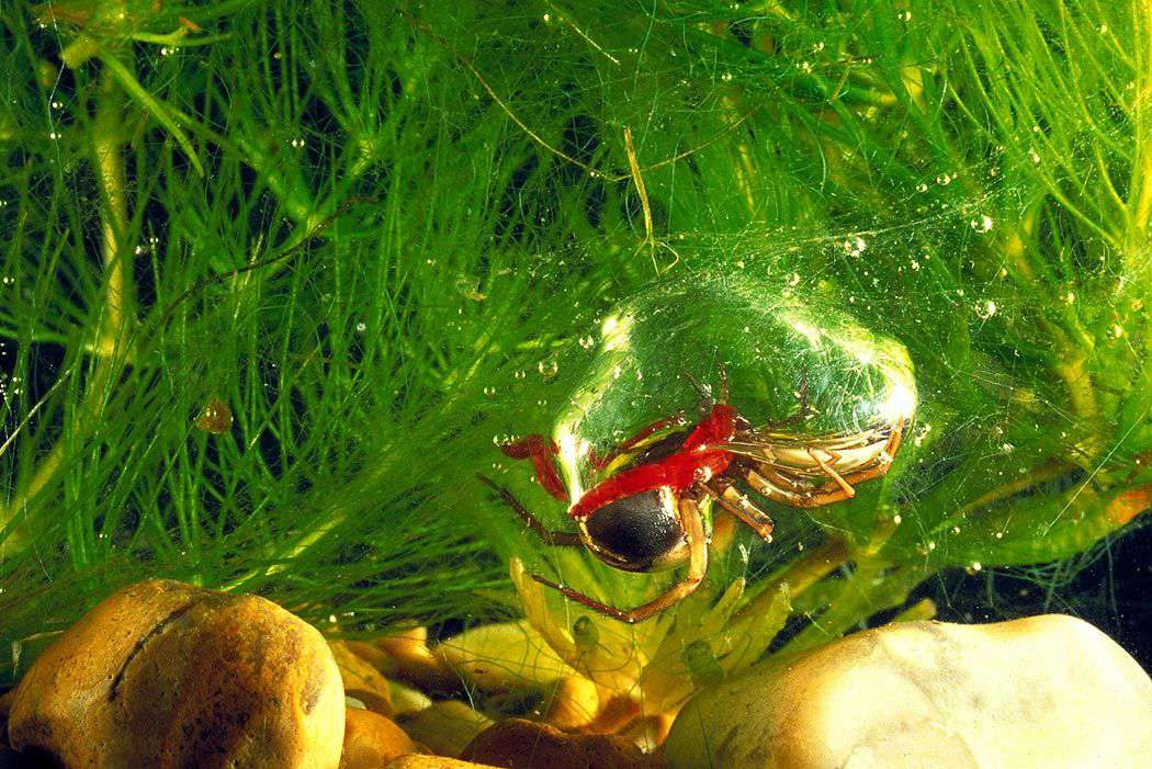 diving bell spider photo