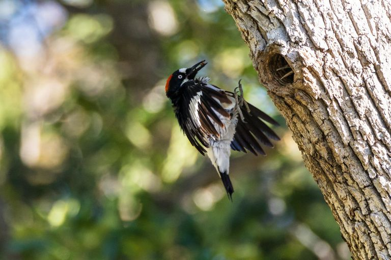 An acorn woodpecker about to land on a tree