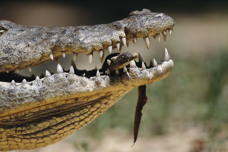 Nile crocodile carrying a newborn in her jaws