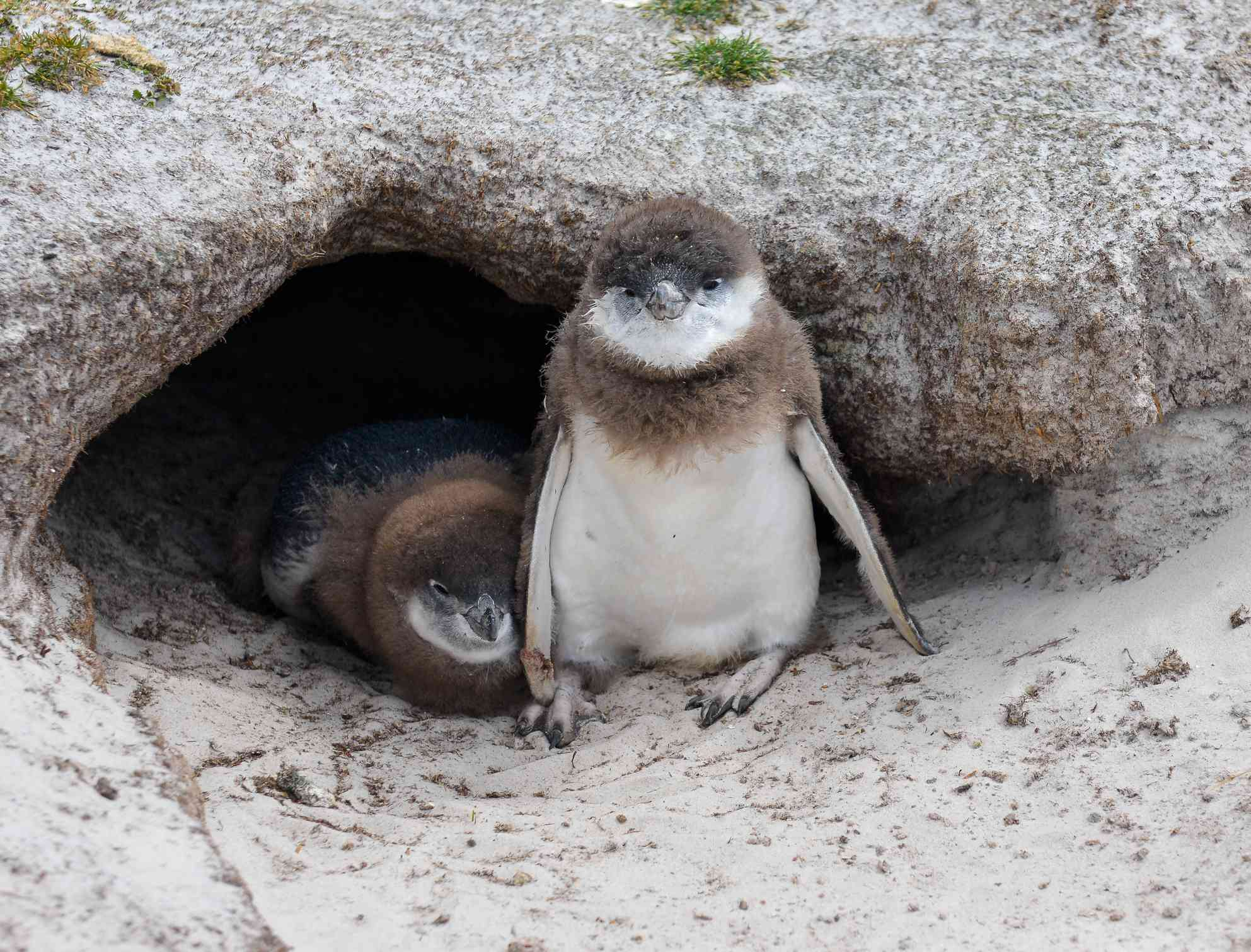 Young Magellanic Penguin chicks peep out from their nest burrow waiting for the parents to return with food.