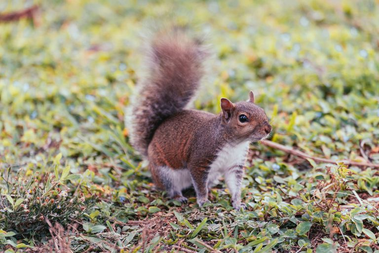 Squirrel looking alert, standing on grass