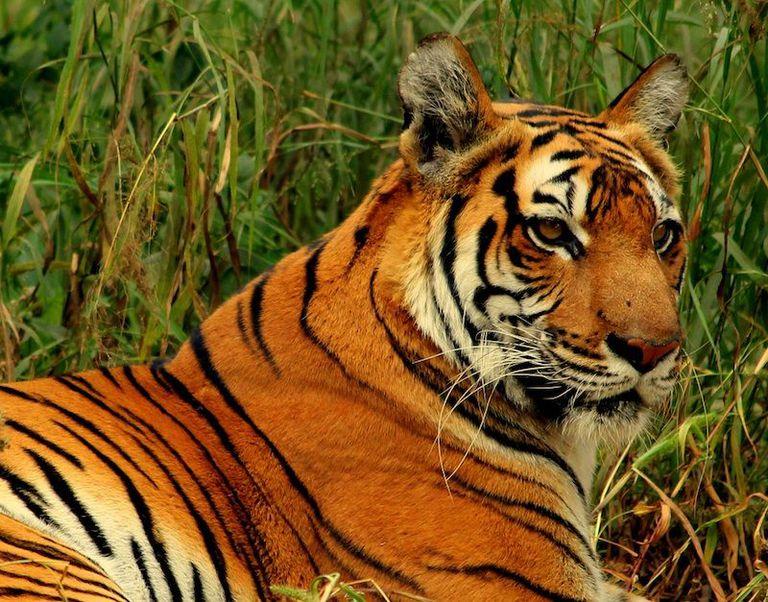 Los cazadores furtivos piratean los datos del collar GPS para identificar a los tigres