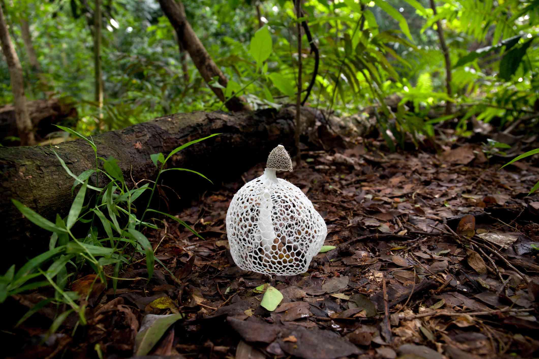 Phallus Indusiatus growing on wet forest floor