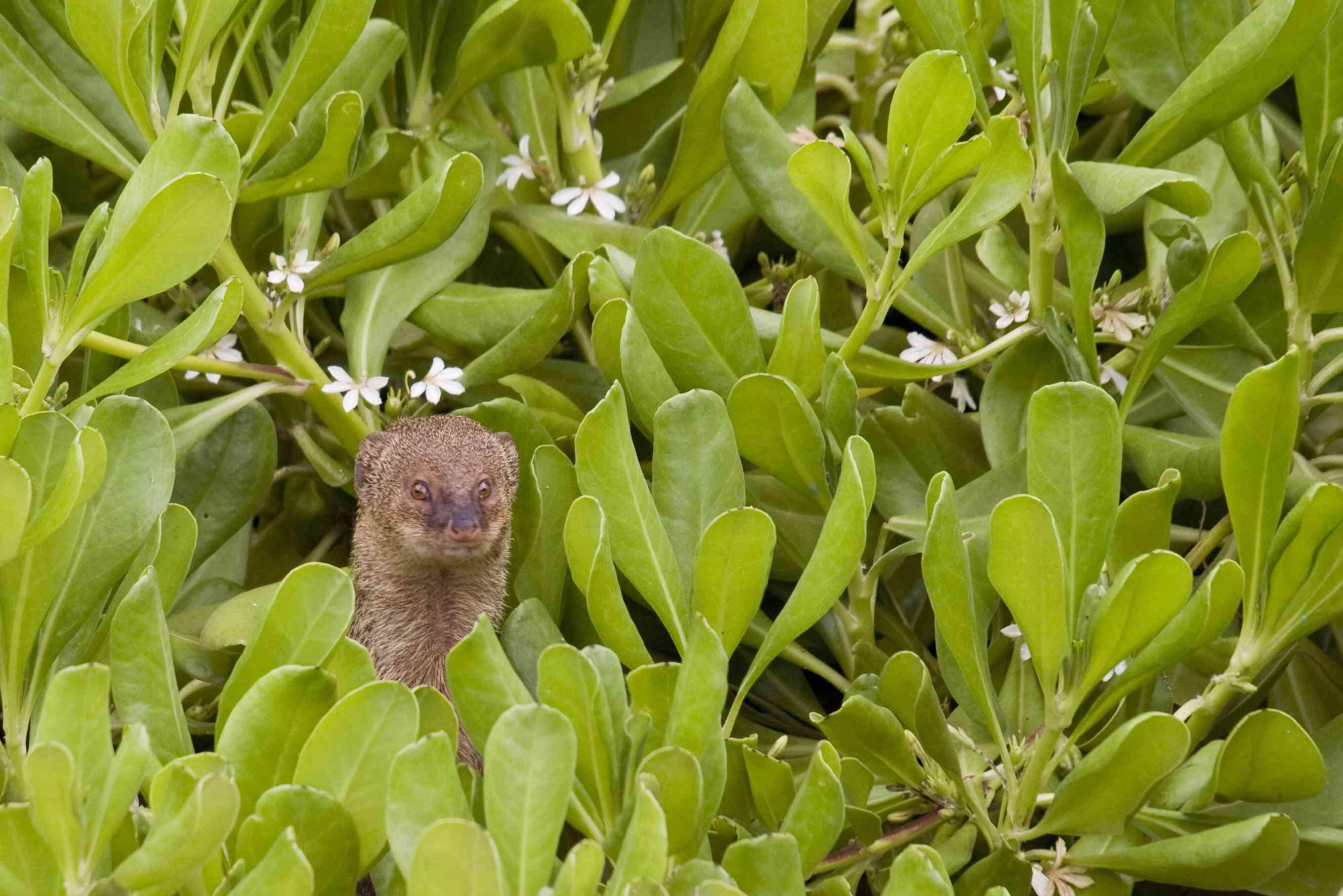 invasive mongoose in Hawaii
