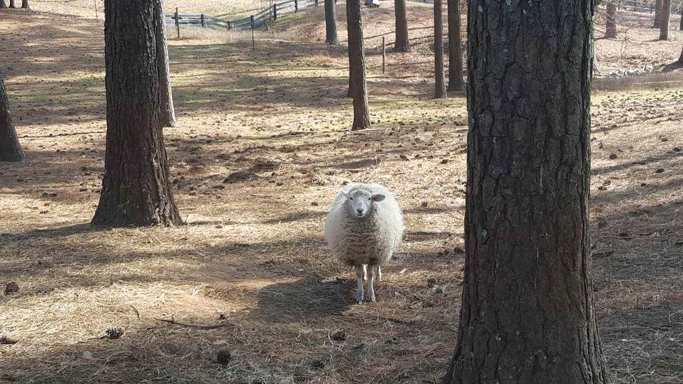 Peeping sheep at Serenbe's on-site animal village
