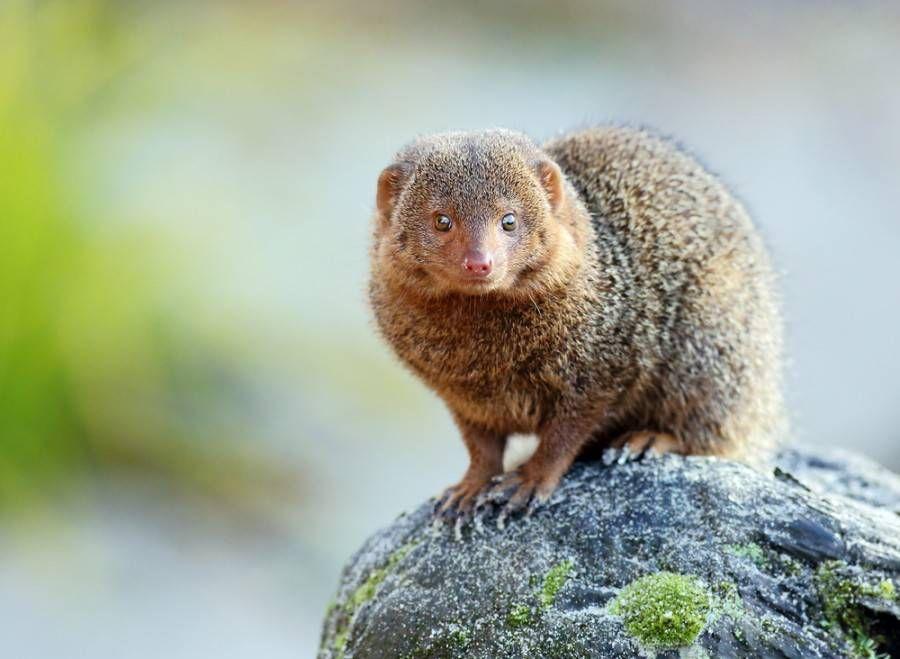 tan pygmy mongoose standing alert on gray rock