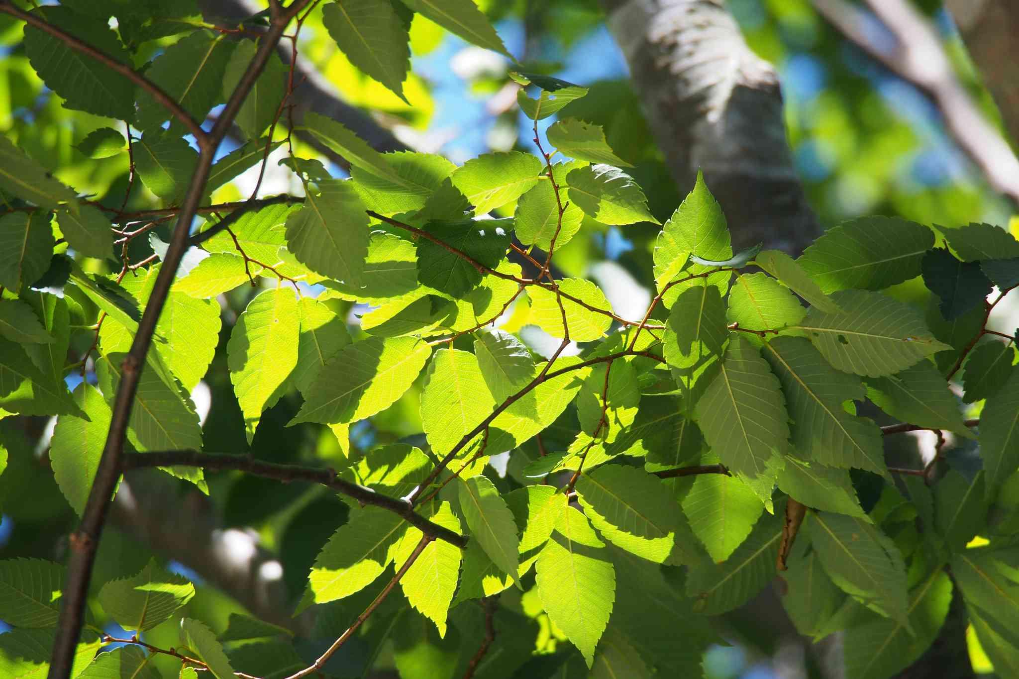 Close up of leaves on a Japanese Zelkova serrata.