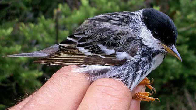 Pequeños pájaros cantores hacen una migración de maratón