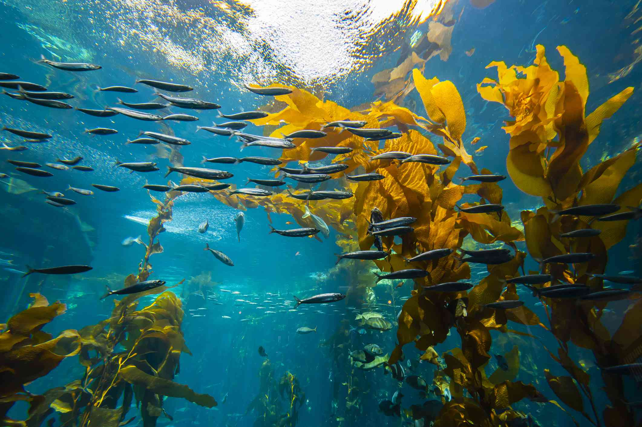 kelp forest surrounded by a school of small black fish near the water's surface at Monterey Bay Aquarium