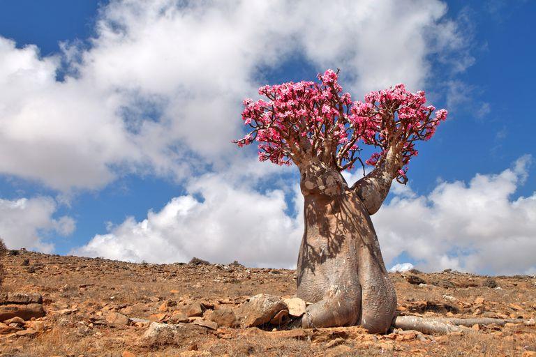 Bottle tree - endemic of Socotra Island