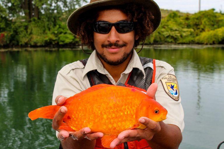 ¿Qué sucede cuando arrojas un pez dorado al inodoro?