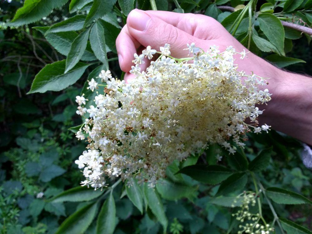 elderflower, foraging