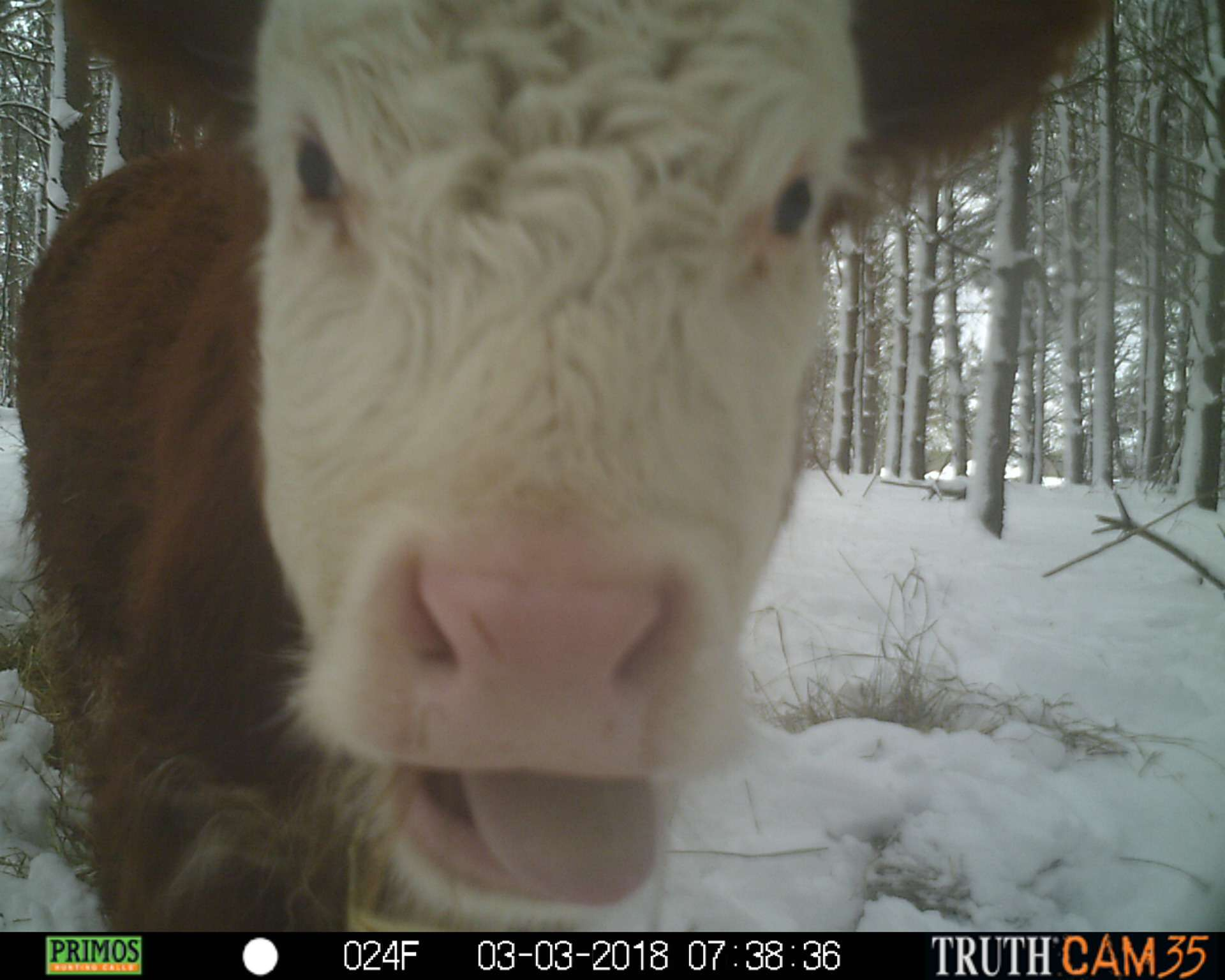 Bonnie the calf in the woods