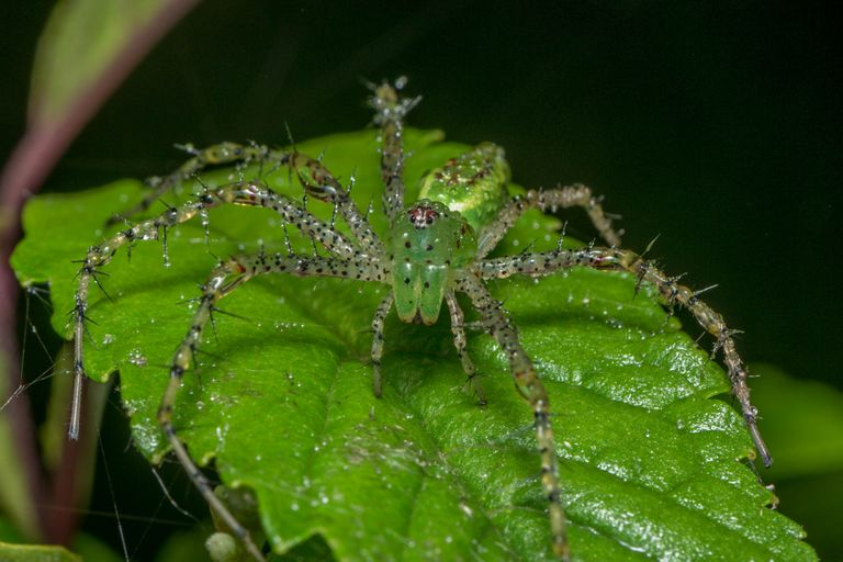 Green lynx spider waiting on a leaf