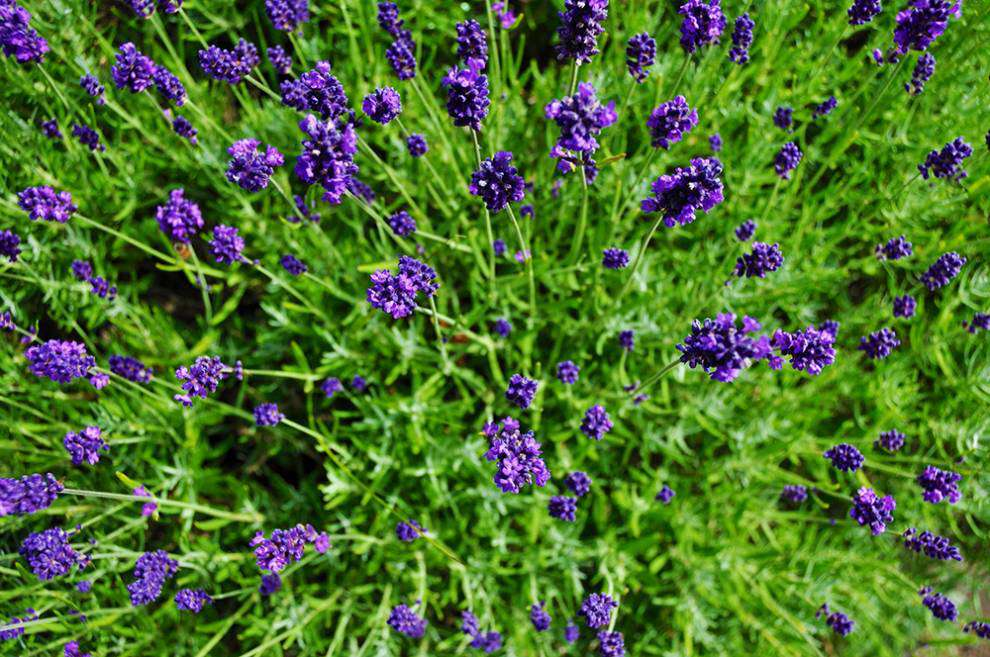 Lavender Capital of North America: Flowers from above