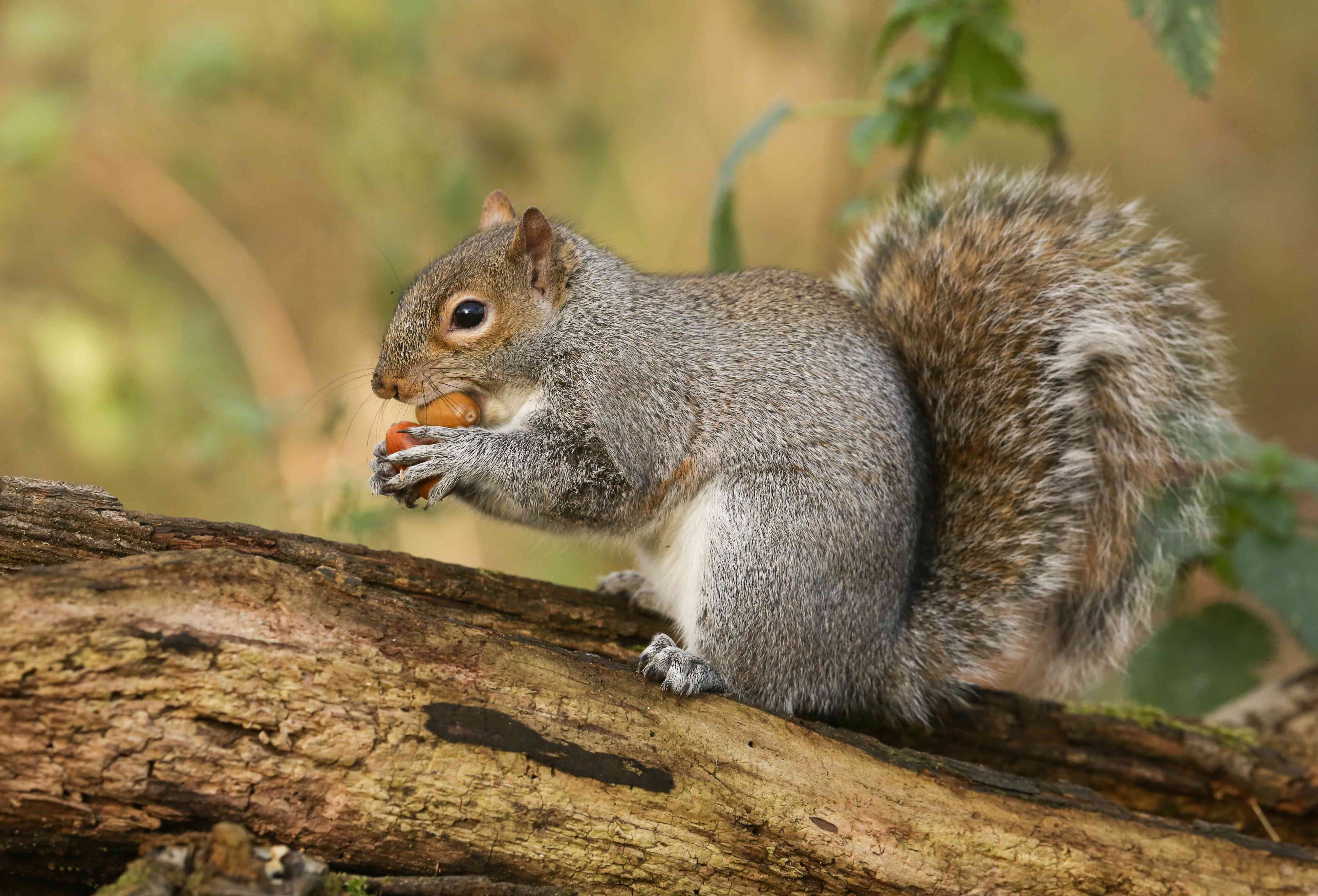 A humorous shot of a cute Grey Squirrel (Scirius carolinensis) trying to carry two nuts one in its mouth and one in its paws sitting on a log.
