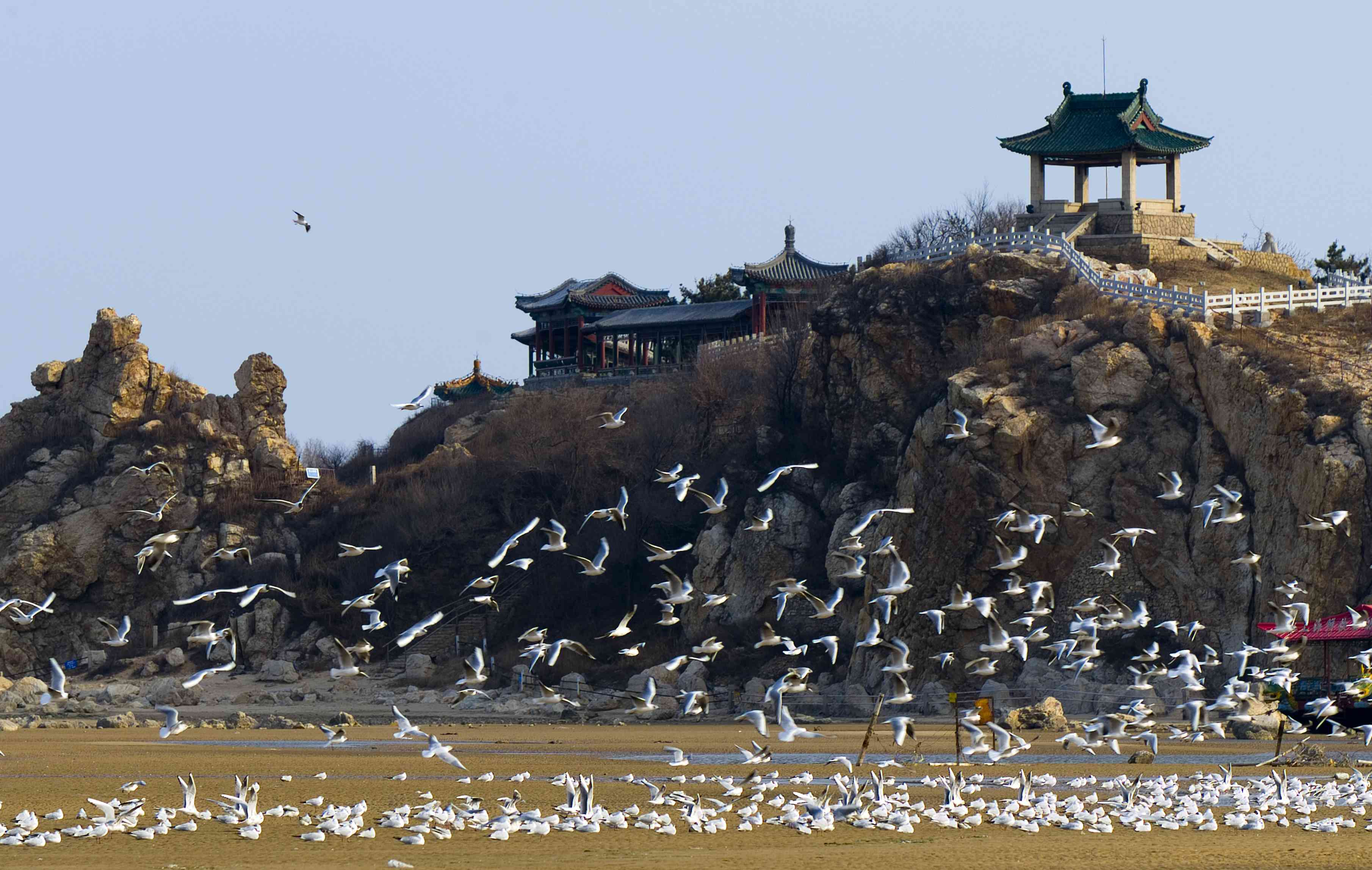 a flock of white birds in the air, on the ground, and in a small pool of water adjacent to a rocky hill in Beidaihe