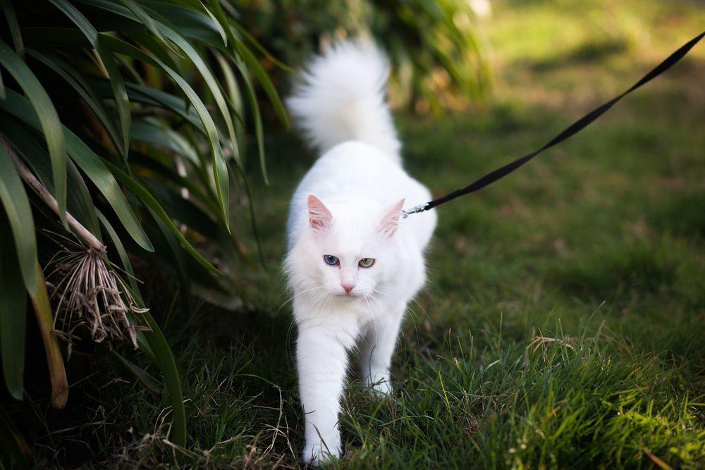 white cat walking outside on a leash