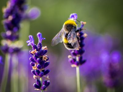 A bumblebee on a stalk of lavender