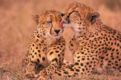 cheetah licking cub