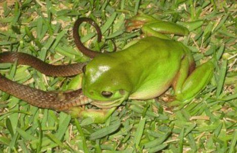 australian frog eats snake photo