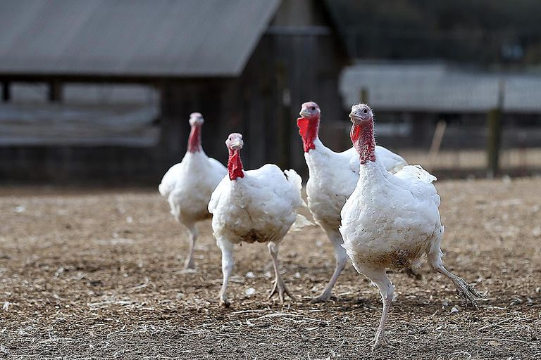 SONOMA, CA - NOVEMBER 26: With less than one week before Thanksgiving, turkeys roam at the Willie Bird Turkey Farm November 26, 2013 in Sonoma, California. An estimated forty six million turkeys are cooked and eaten during Thanksgiving meals in the United States.