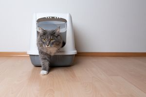 Gray cat stepping out of a litter box.