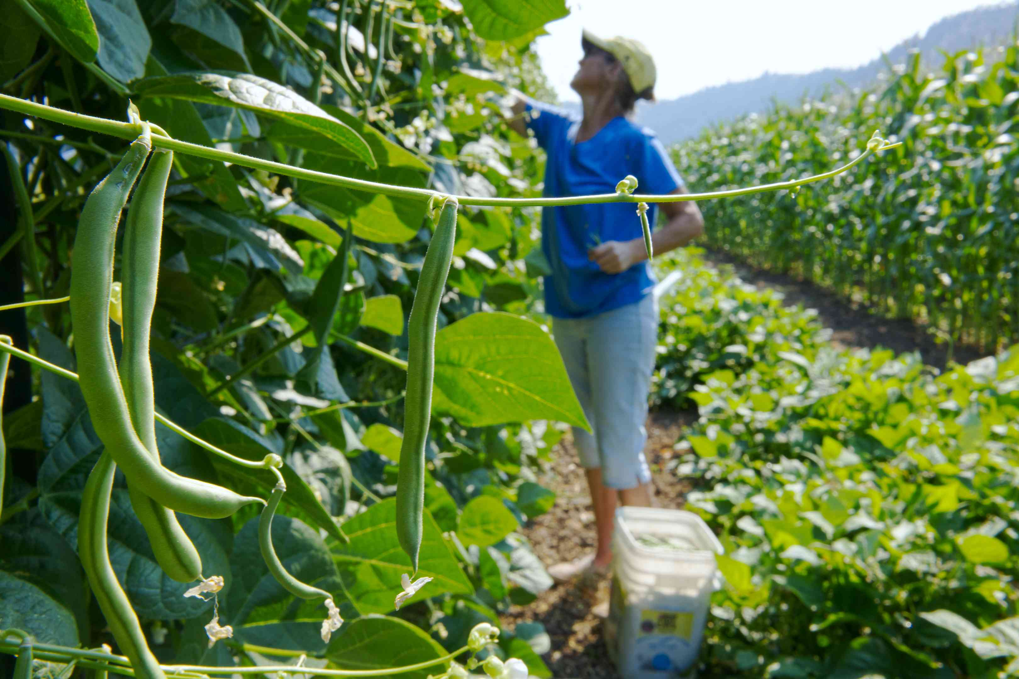woman in hat picks string beans in large commercial outdoor garden