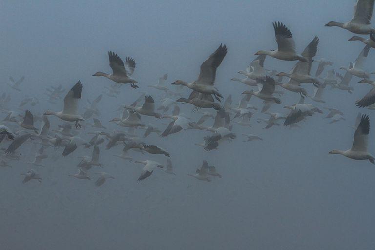 Flock of snow geese flying against a foggy sky
