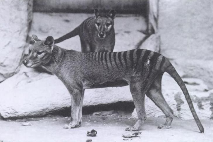 One male and one female thylacine at the National Zoo in Washington D.C.
