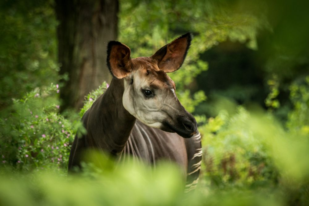 okapi in profile with some of the zebra striped leg, dark body and giraffe like face.