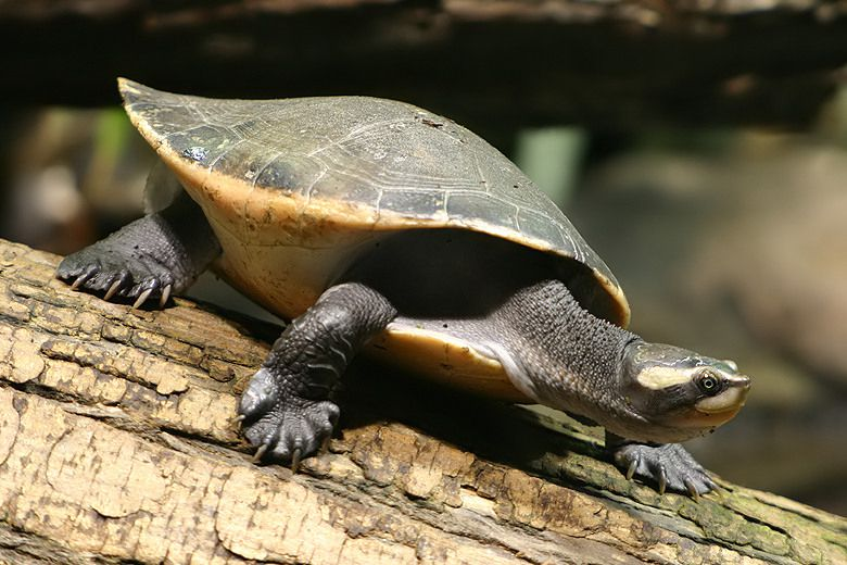 Red-bellied short-necked turtle standing on tree bark